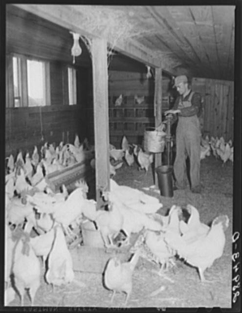 There are 1800 chickens and 2000 pullets at the Bois d'Arc cooperative. Osage Farms, Missouri