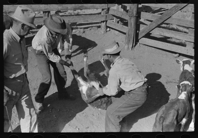 Throwing a calf. Roundup near Marfa, Texas