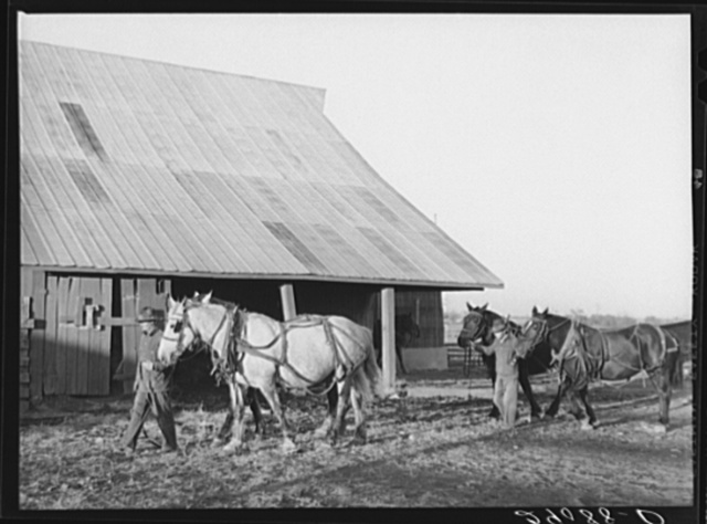 Two of the teams used on the Bois d'Arc Cooperative farm. Osage Farms, Missouri