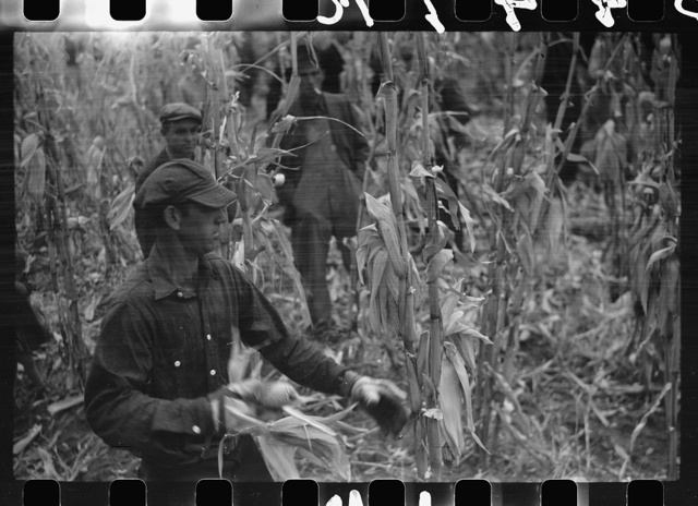 [Untitled photo, possibly related to: Contestant waits for starting gun as his wife and child look on, cornhusking contest, Marshall County, Iowa]