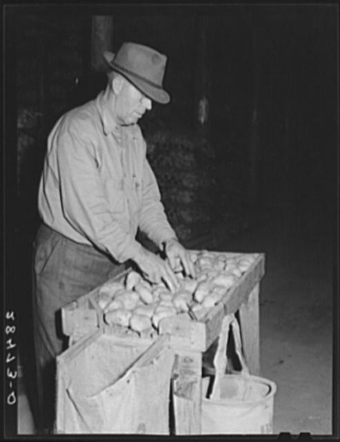 USDA (United States Department of Agriculture) inspector grades potatoes. Monte Vista, Colorado