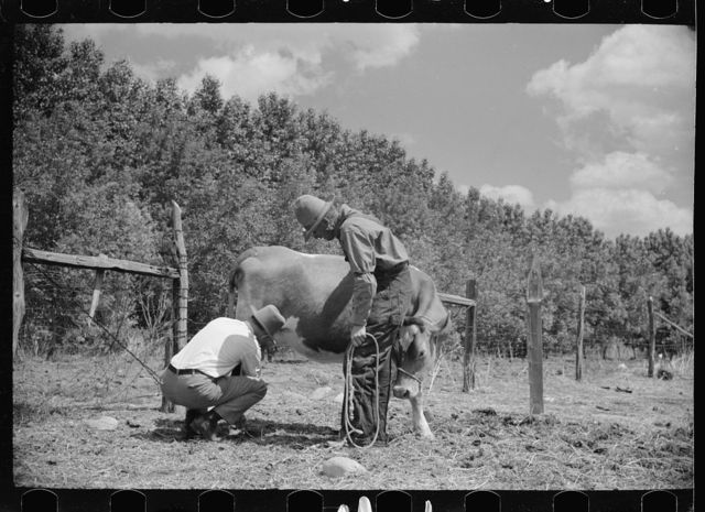 Veterinarian examining cow, Fairfield Bench Farms, Montana