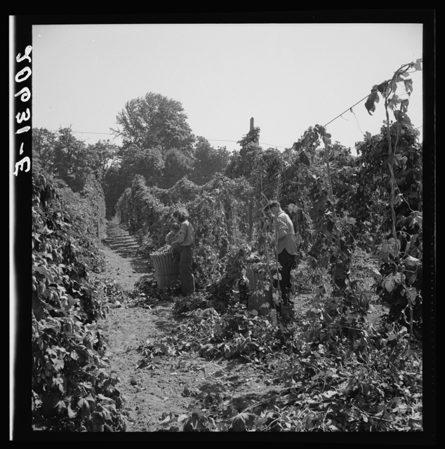 View of hop yard, pickers at work. Near Independence, Polk County, Oregon. See general caption number 45-1