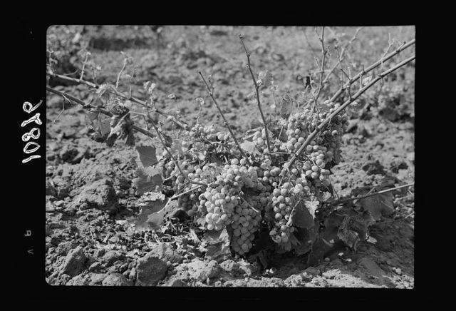 Vintage activities at Richon-le-Zion, Aug. 1939. Close up of grape vine laden with fruit (a diseased grape vine)