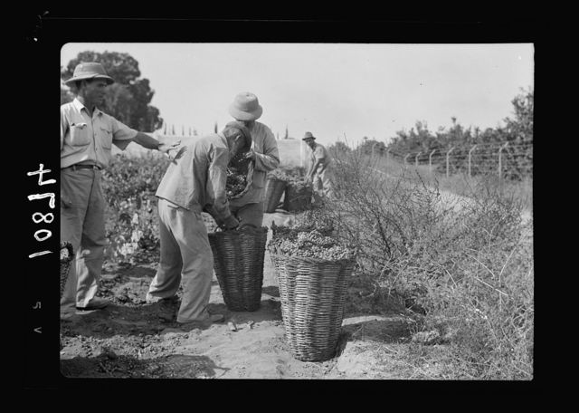 Vintage activities at Richon-le-Zion, Aug. 1939. Collecting grapes in large baskets, ready for transport to the cellars