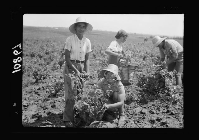 Vintage activities at Richon-le-Zion, Aug. 1939. Group of grape pickers. Yemenite girl with European immigrant girl