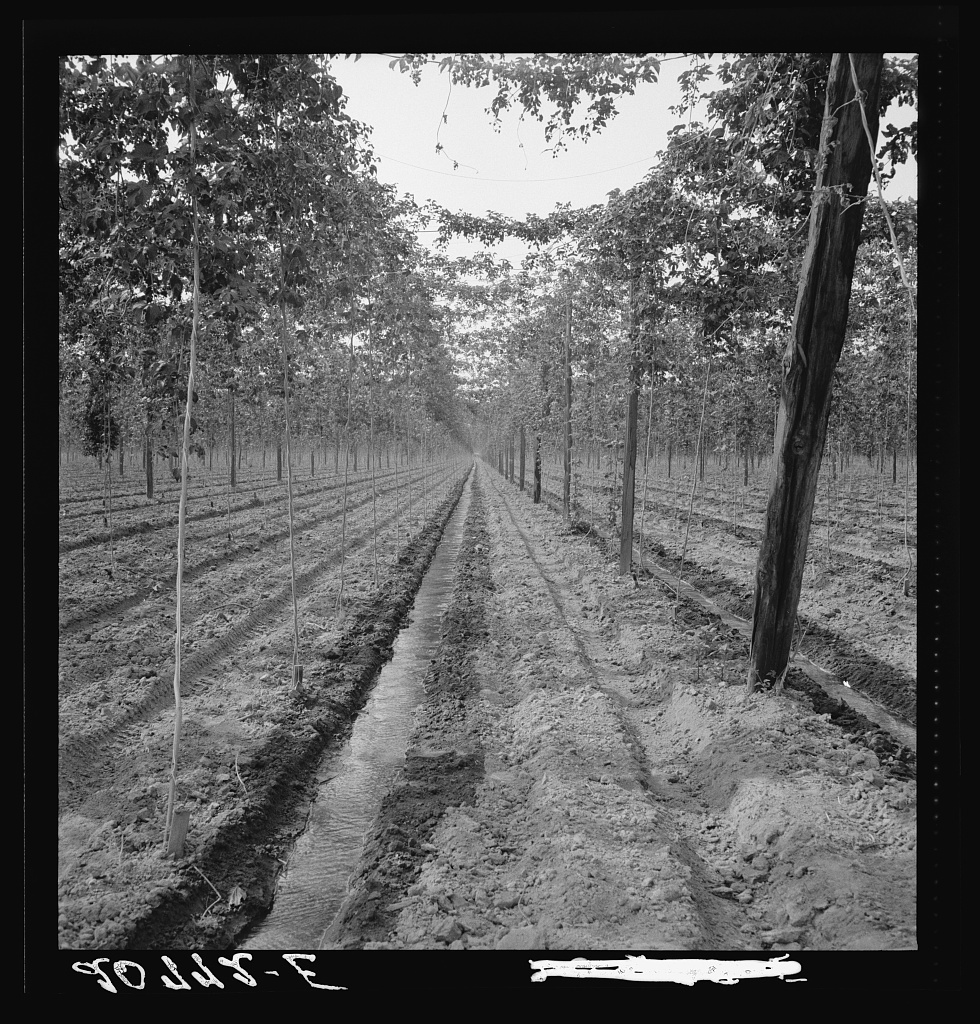 Washington, Yakima Valley. Hop yard, shows poles, wires, irrigation ditch and hop vine, three weeks before picking time