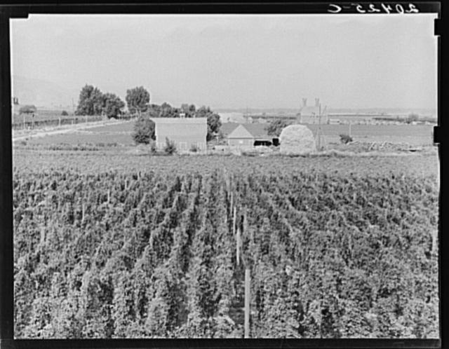Washington, Yakima Valley. Looking down on hop yard on French-Canadian farm. Three weeks before picking time. (Note hop kiln (2 stacks), right backyard)