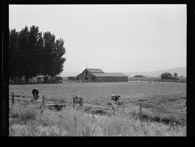 Washington, Yakima Valley, west of Toppenish. On tenant purchase program (Farm Security Administration) client E. Houston. Irrigated pasture, cows, barn on Houston farm. A younger couple were tenant farmers for seven years, now have their own farm, eighty acres, price seven thousand five hundred and forty four dollars