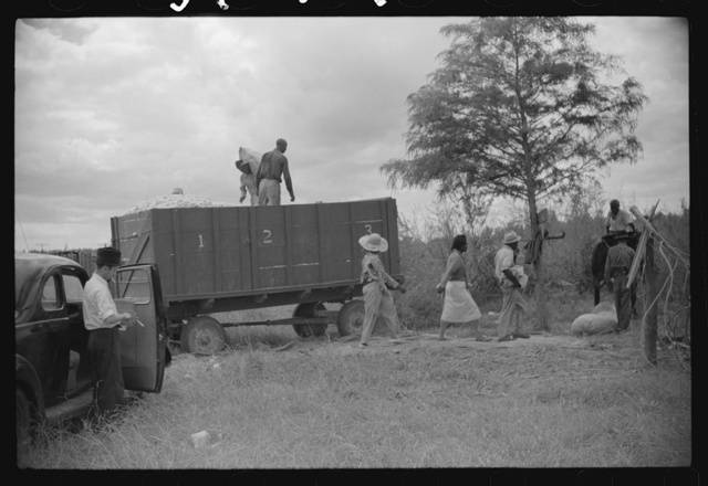 Weighing and picking operations on Nugent cotton plantation, Benoit, Mississippi Delta, Mississippi. The pickers are hired day laborers from Greenville, and receive seventy-five cents per one hundred pounds