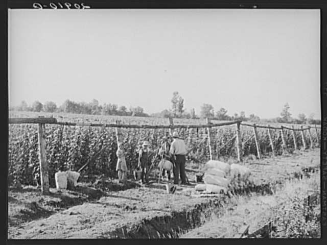 Weighing scales at edge of beanfield. Near West Stayton, Marion County, Oregon. General caption number 46