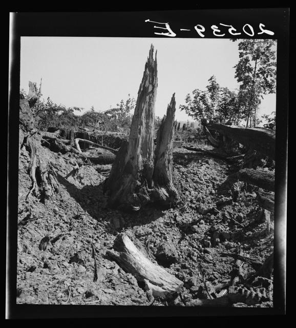 Western Washington, Lewis County, near Vader. Stumps on Nieman farm where bulldozer is working. See general caption number 41