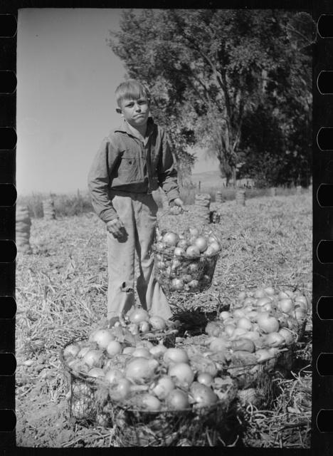 Working in onion fields, Delta County, Colorado