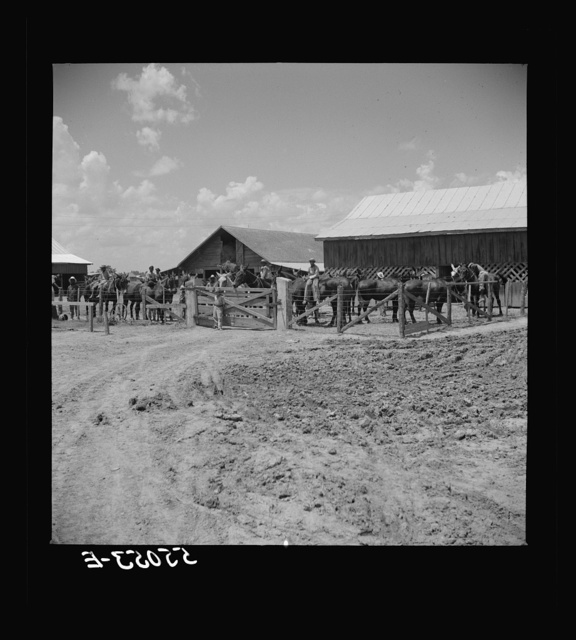 After the noon hour in the plantation yard, the mules, tractors and cultivators are taken out to finish the day's work. King and Anderson plantation, near Clarksdale. Mississippi Delta, Mississippi