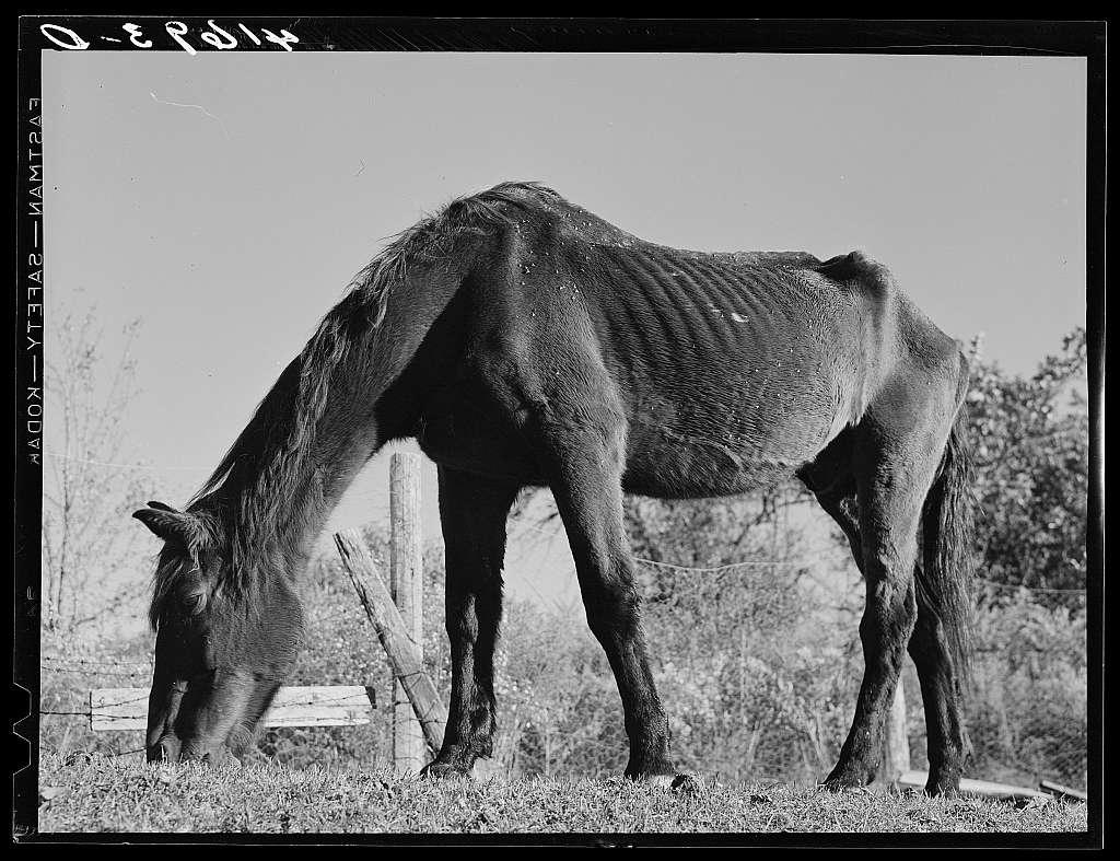 Ancient horse on the farm of Mr. Louis Saffer, FSA (Farm Security Administration) client near Branford, Connecticut
