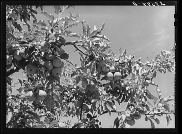 Apples are the main fruit crop of Delta County, Colorado