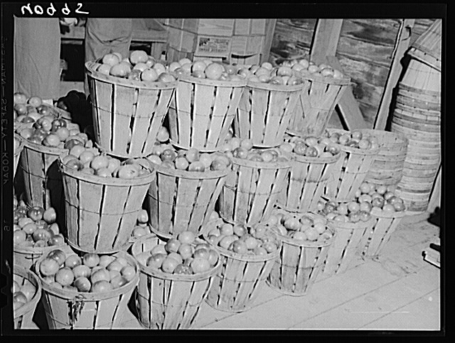 Baskets of green tomatoes at a farm near Westover, Maryland