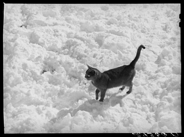 Black cat in snow. Ross County, Ohio