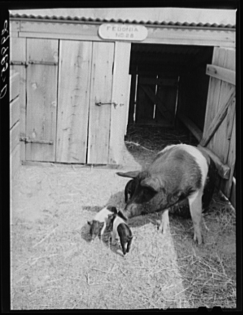 Brood sow with pigs. Dangberg Ranch, Douglas County, Nevada