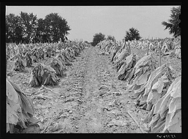 Burley tobacco is placed on sticks to wilt after cutting before it is taken into barn for drying and curing. Russell Spear's farm near Lexington, Kentucky