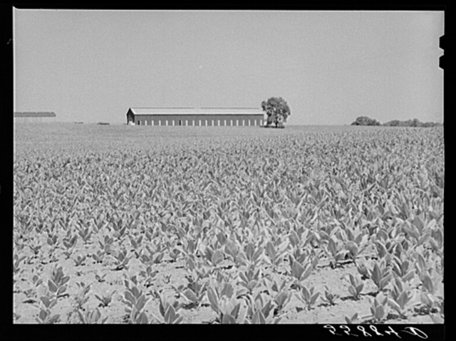 Burley tobacco, unusually small and poor crop because of severe drought. Tobacco barn in background on very large farm of Pennsylvania Brothers.  Near Lexington, Kentucky