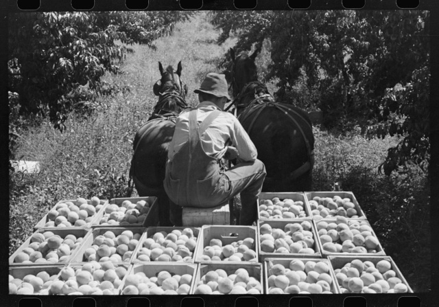 Carrying crates of peaches from the orchard to the shipping shed, Delta County, Colorado