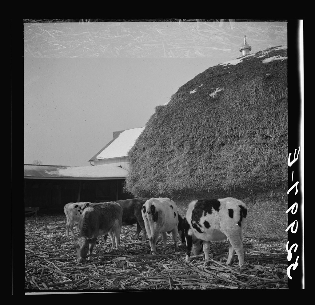 Cattle feeding in winter on farm near Rockville, Montgomery County, Maryland