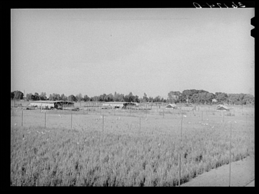 Chicken yard and poultry shelters at the Arizona part-time farms. Maricopa County, Arizona