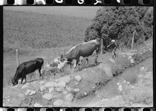 Child tending cows grazing along irrigation ditch, Penasco, New Mexico