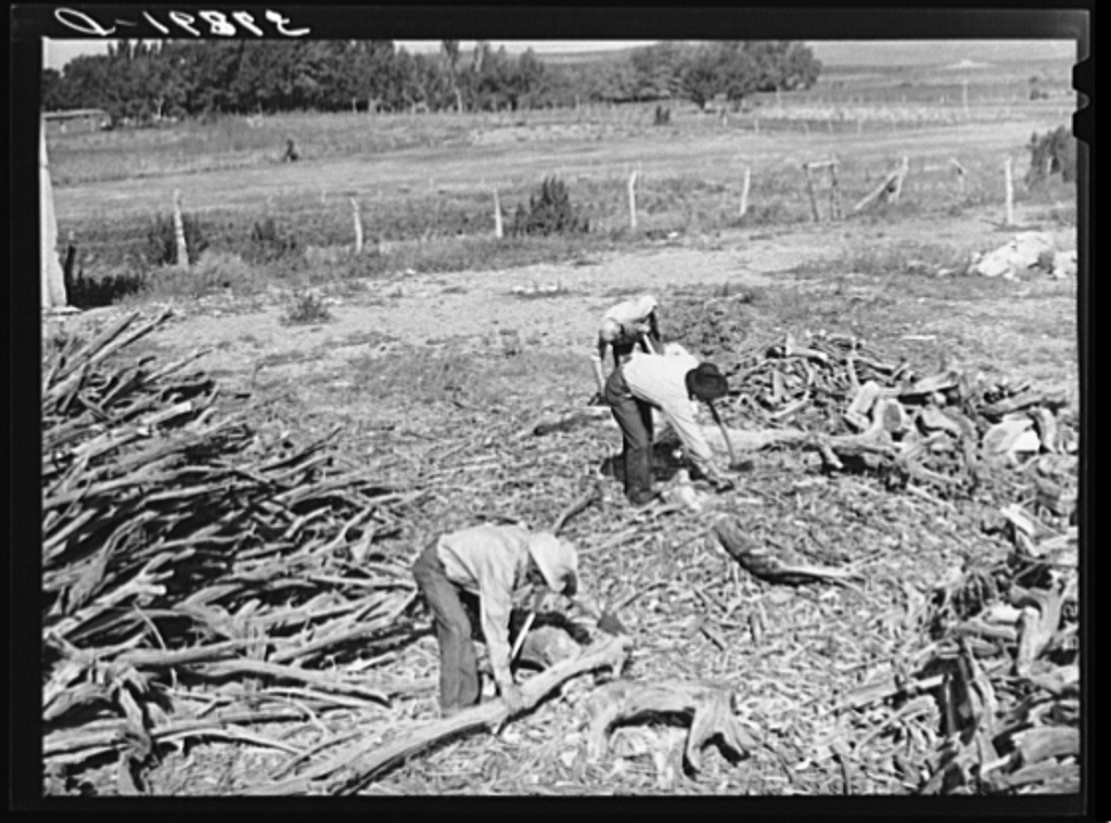 Chopping wood for winter fuel supply. Concho, Arizona