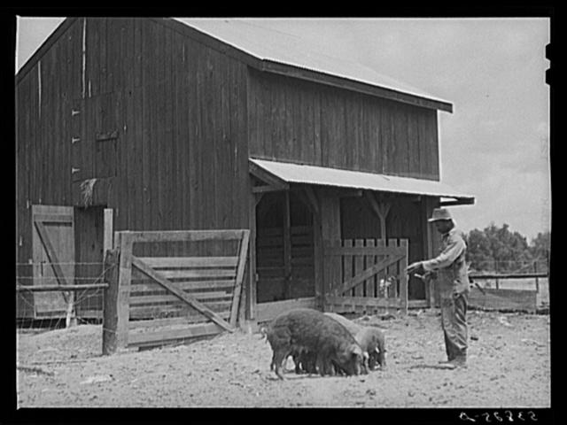Clifton Davenport feeding some of his hogs by new barn. La Delta Project, Thomastown, Louisiana