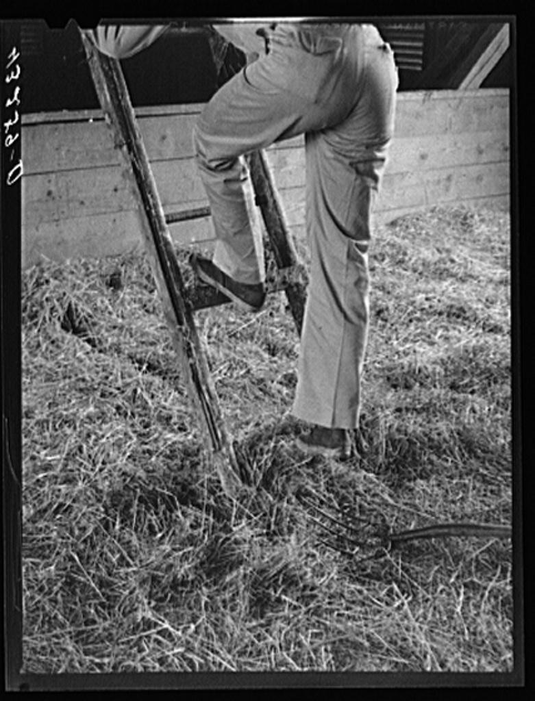 Climbing ladder to loft in barn. Rockville, Maryland