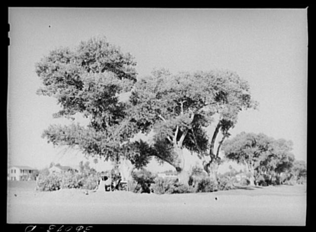 Clump of cottonwood trees near Phoenix, Arizona, municipal golf course