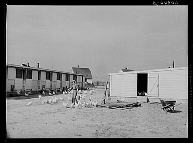 Cooperative poultry yard at Deshee Unit, Wabash Farms, Indiana. One man is in charge of the poultry full-time