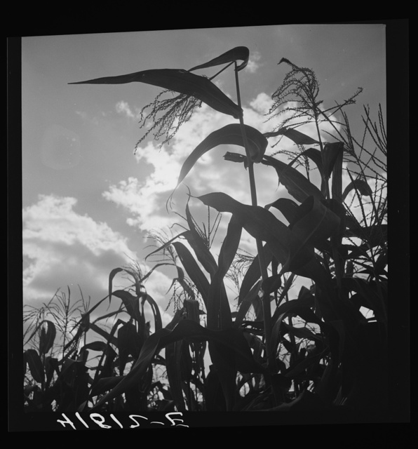 Corn blowing in the wind near Suffield, Connecticut