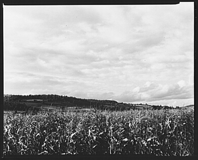 Corn field near Townsend, New York
