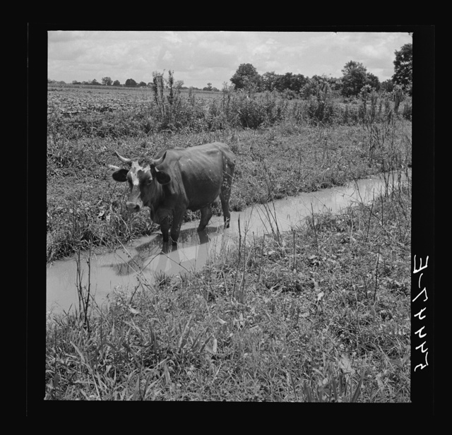 Cow cooling off on hot summer day, northeastern Louisiana