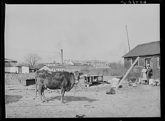 Cow kept by family living in riverfront shacktown. Dubuque, Iowa