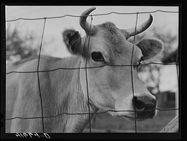 "Cow on the farm of Edward C. Warner, a ""carpenter-farmer"" near North Haven, Connecticut"