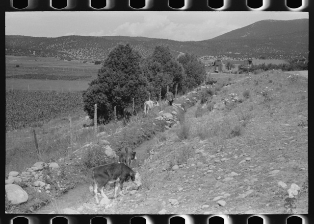Cows grazing along irrigation ditch, Penasco, New Mexico
