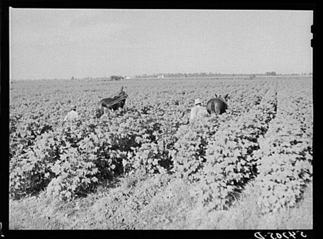 Cultivating cotton on King and Anderson Plantation, near Clarksdale. Mississippi Delta, Mississippi