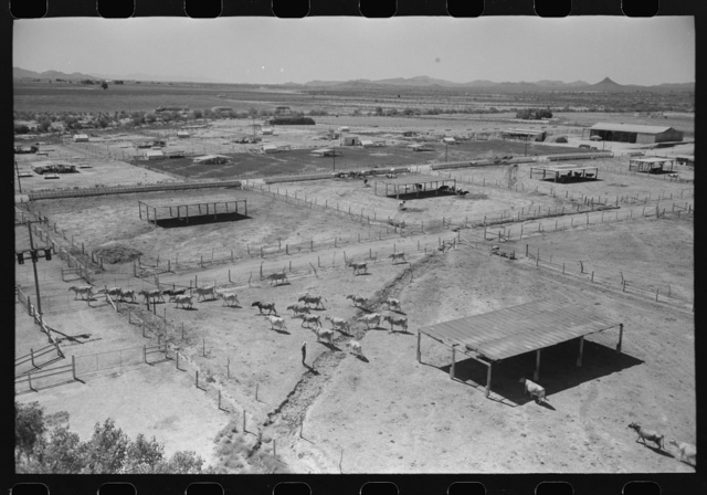 Dairy cattle and shelters at the Casa Grande Valley Farms, Pinal County, Arizona