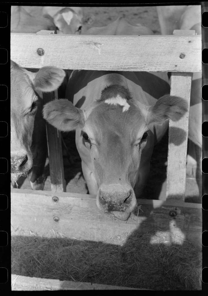 Dairy cow at Casa Grande Valley Farms, Pinal County, Arizona