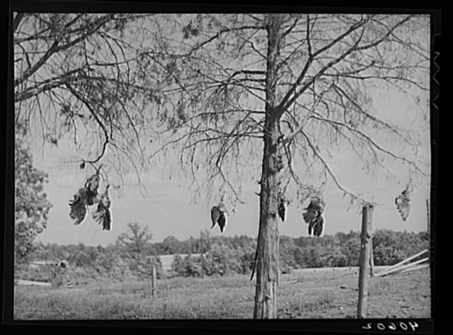 Dead hawks killed by Mr. Lloyd's sons. Orange Church, Orange County, North Carolina