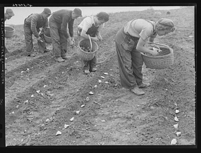 Demonstration of the method of cutting and planting seed potatoes as practiced on the Levesque farm near Van Buren, Maine