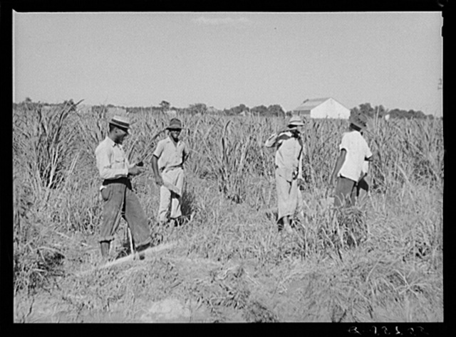 Drinking water while cutting out cane on Terrebonne Project. Schriever, Louisiana
