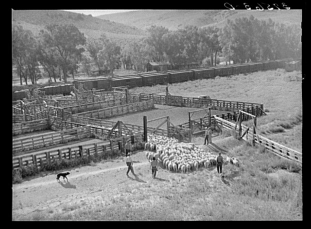 Driving herd of fat lambs into corrals along the narrow gauge railroad. Cimarron, Colorado