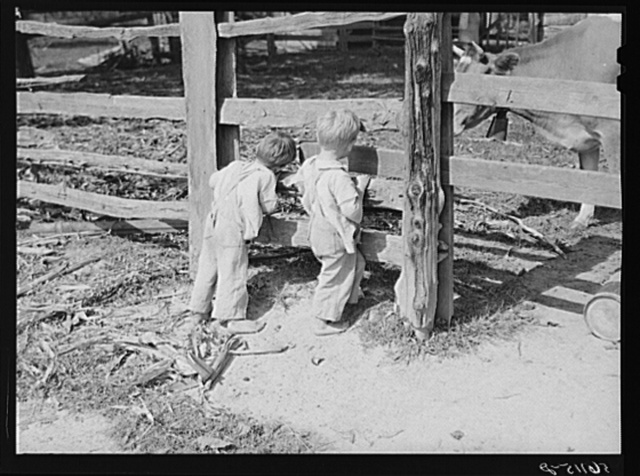 Family of FSA (Farm Security Administration) borrower watching their new bull calf purchased with FSA community cooperative service loan. Caswell County, North Carolina. Farm of Emery F. Farrar, Prospect Hill