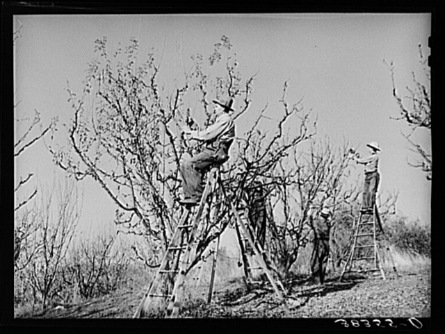Farmers pruning fruit trees. Placer County, California