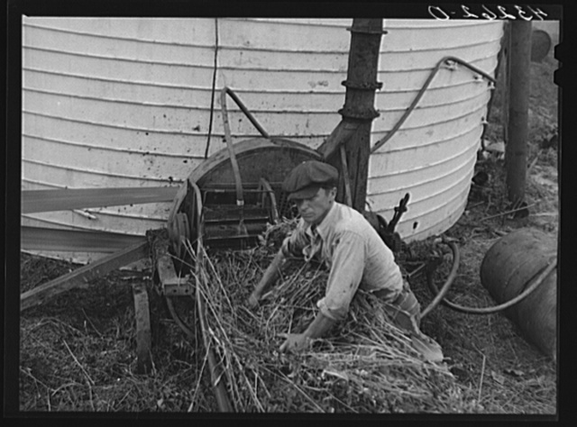 Feeding ensilage cutter. Farm near Rockville, Maryland